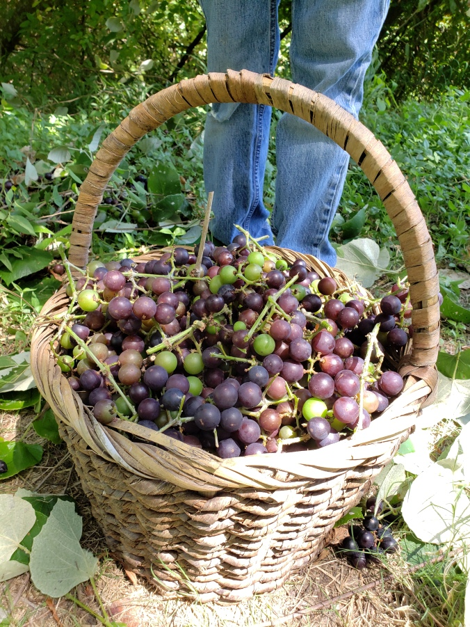 with-every-intention-foraging-wild-mustang-grapes