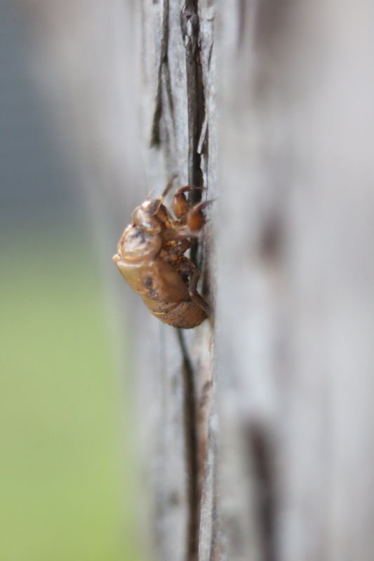 nature-study-cicadas-with-every-intention