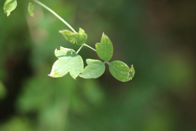 nature-study-clematis-drummondii